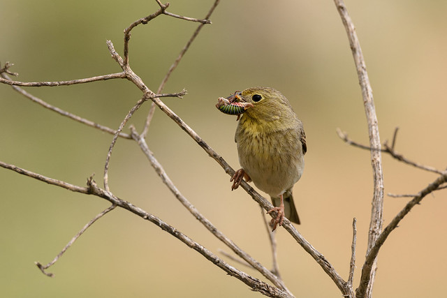 cinereous bunting, 06-05-2019 Petrified forest
