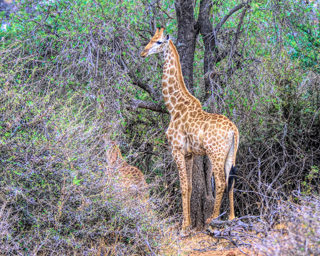 Giraffe among the trees in South Africa