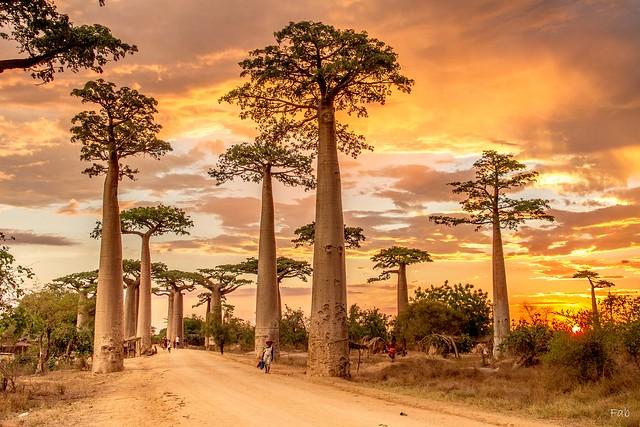 Fin de journée sur l'allée des baobabs