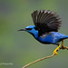 Male Shining Honeycreeper With Wings Back As It Prepares To Fly