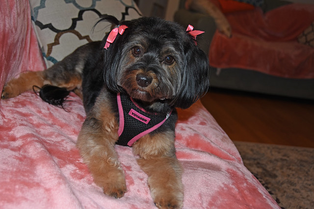 Picture Of Mandy A Yorkie Mix Taken After Grooming On Saturday November 16, 2019. Mandy Is Now Over 3 Years  Old According To The Vet When She Was First Adopted Who Said She Was Born Sometime In December. Photo Taken Saturday November 16, 2019