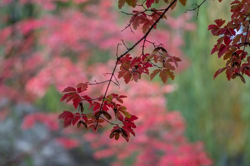 Oakleaf red
