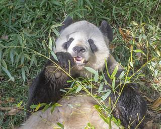 Happy pampered panda