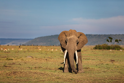Second Encounter with a Big Tusker