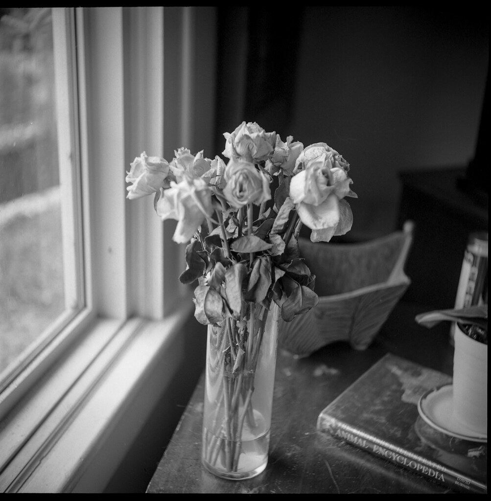 roses, wilting, vase, picture window, interior, Asheville, NC, Ricohflex Dia M, Kodak Tri-X 400, HC-110 developer, 11.16.19