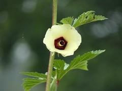 Okra flower (Abelmoschus esculentus)