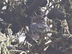 Great Horned Owl, Bubo virginianus  (由  J. Maughn