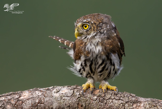 Big Foot (Northern Pygmy Owl)