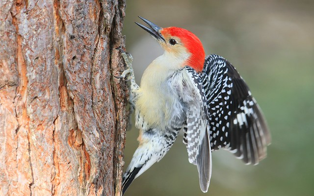 red-bellied woodpecker male at Lake Meyer Park IA 653A5673