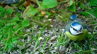 Sinitihane / Eurasian blue tit / Cyanistes caeruleus / Обыкнове́нная лазо́ревка / Blaumeise / Sinitiainen / Blåmes / Zilzīlīte