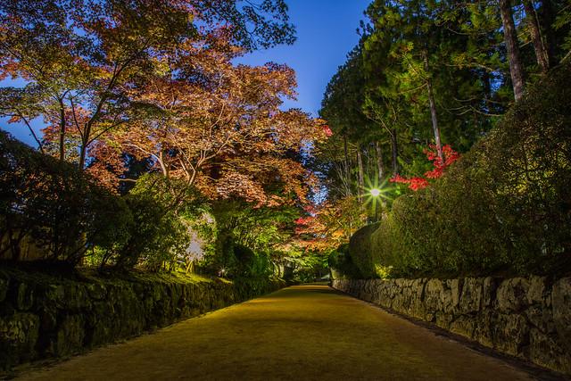 Red Maple in Koyasan 高野山紅葉のライトアップ
