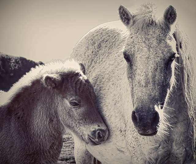 Philippine Horses - mother and foal