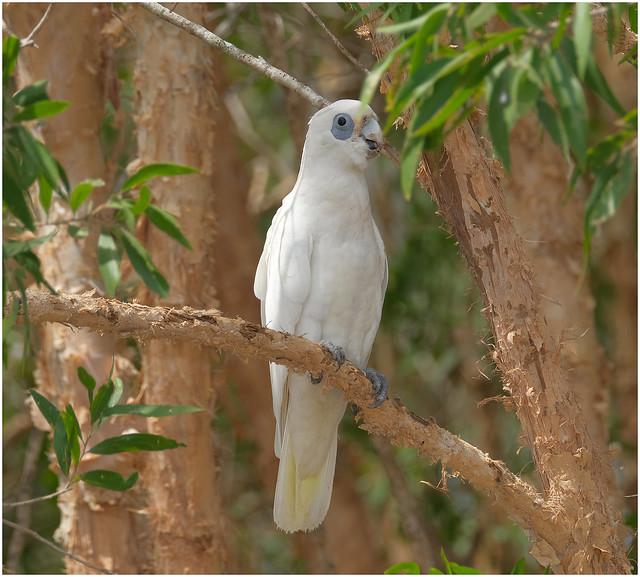 Little Corella - Fogg Dam Conservation Reserve, Middle Point, Northern Territory, Australia