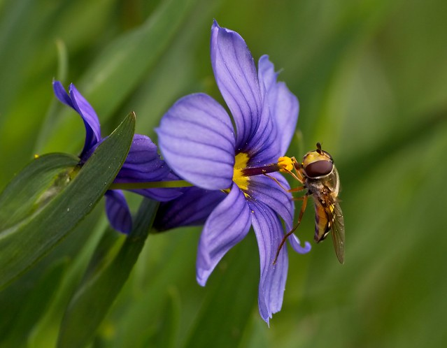 Hoverfly on Blue-eyed Grass
