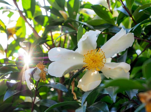 ④Camellia sasanqua