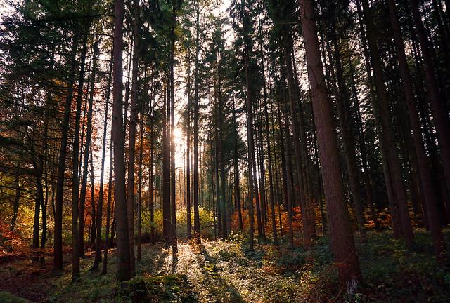 Ein herbstlicher Nadelwald im Gegenlicht