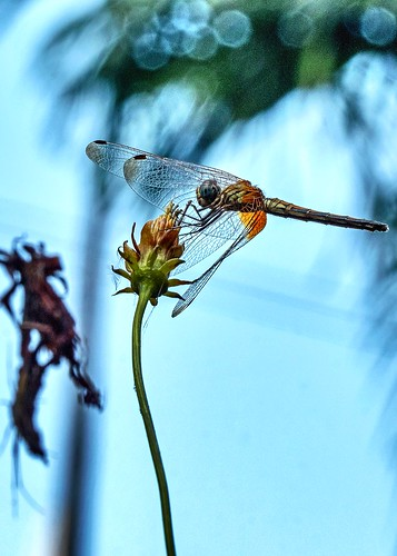 dragonfly fly insect wings creature garden closeup mumbai maharashtra india
