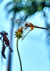 Dragonfly on an isolated flower bud