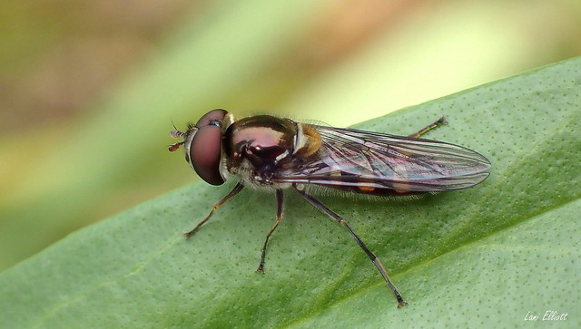Hover Flies are Allowed to Rest
