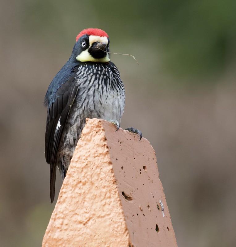 Acorn Woodpecker_Melanerpes formicivorus_Ascanio_Costa Rica_199A8651