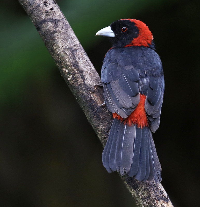 Crimson-collared Tanager_Ramphocelus sanguinolentus_Ascanio_Costa Rica_ 199A0800