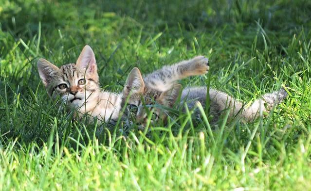 Kittens playing - Sardinia