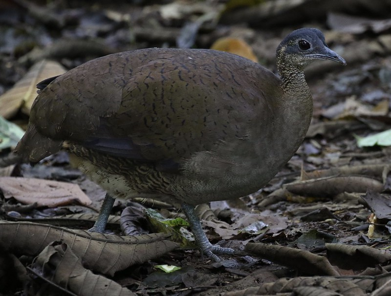 Great Tinamou_Tinamus major_Ascanio_Costa Rica_199A9928