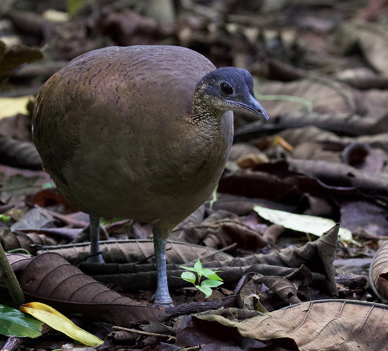 Great Tinamou_Tinamus major_Ascanio_Costa Rica_199A9971