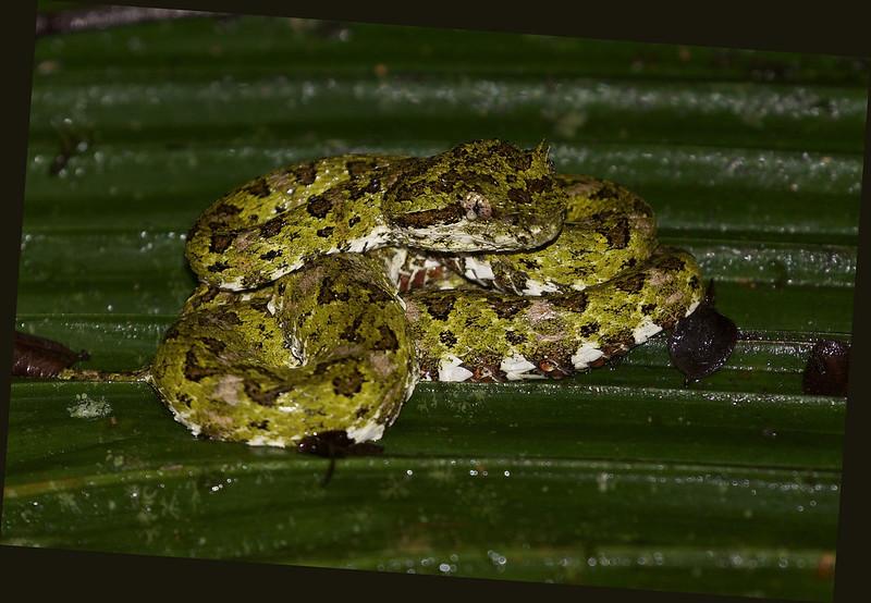 Eyelash Pit Viper_Bothriechis schlegelii_Ascanio_Costa Rica_199A9556