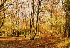 Heriot`s Wood in November