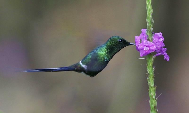 Green Thorntail_Discosura conversii_Costa Rica_Ascanio_ 199A9326