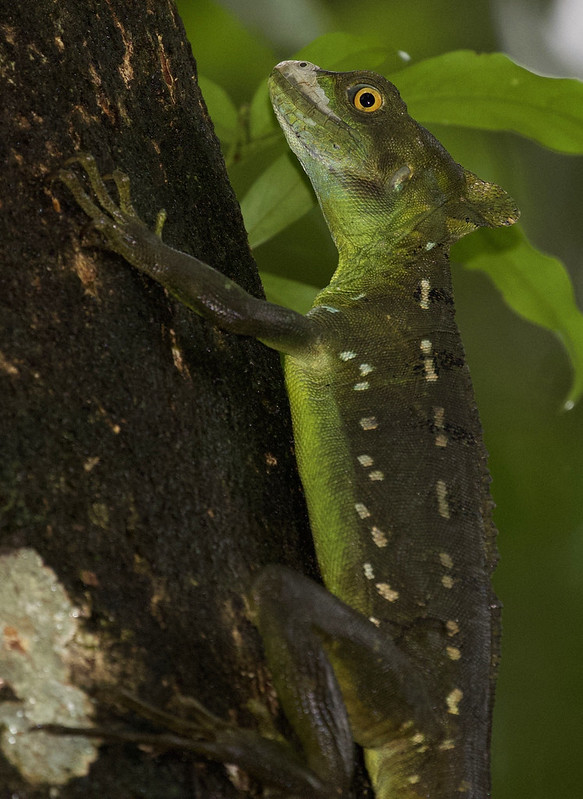 Green Basilisk_Basiliscus plumifrons_Ascanio_Costa Rica_ 199A0907