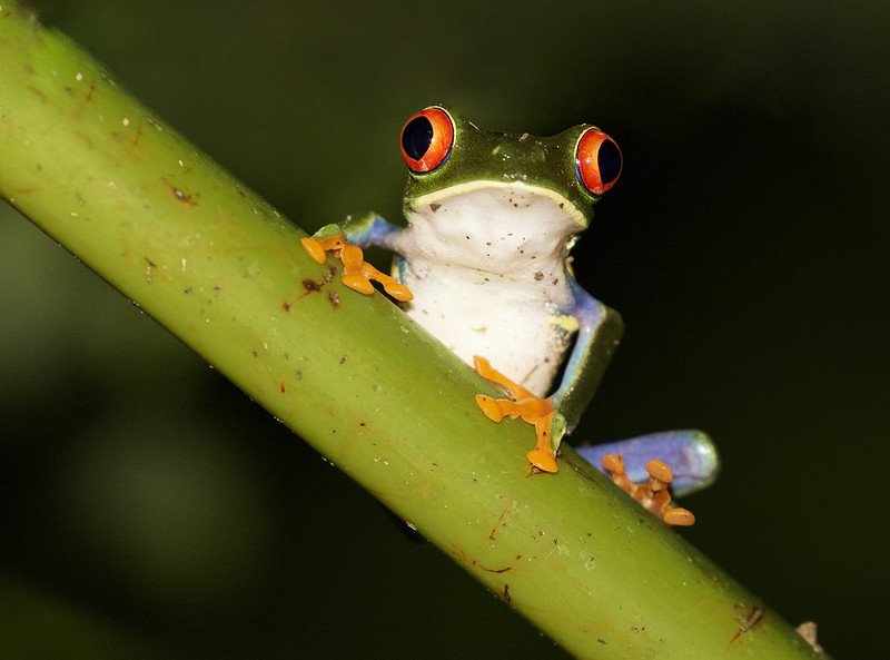 Red-eyed Tree-Frog_Ascanio_Costa Rica_199A0065 (1)