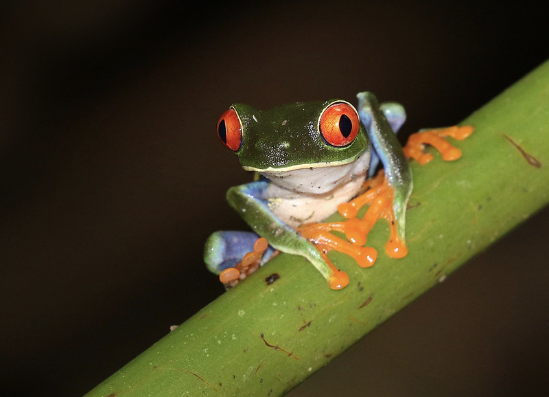 Red-eyed Tree-Frog_Ascanio_Costa Rica_ 199A0071