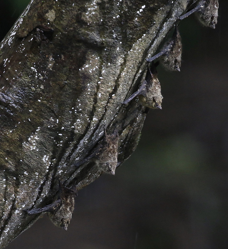Proboscis Bat_Rhynchonycteris naso_Costa Rica_Ascanio_199A0481