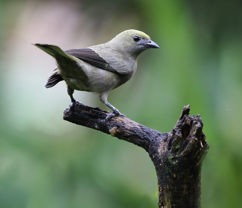 Palm Tanager_Thraupis palmarum_Ascanio_Costa Rica_199A0668