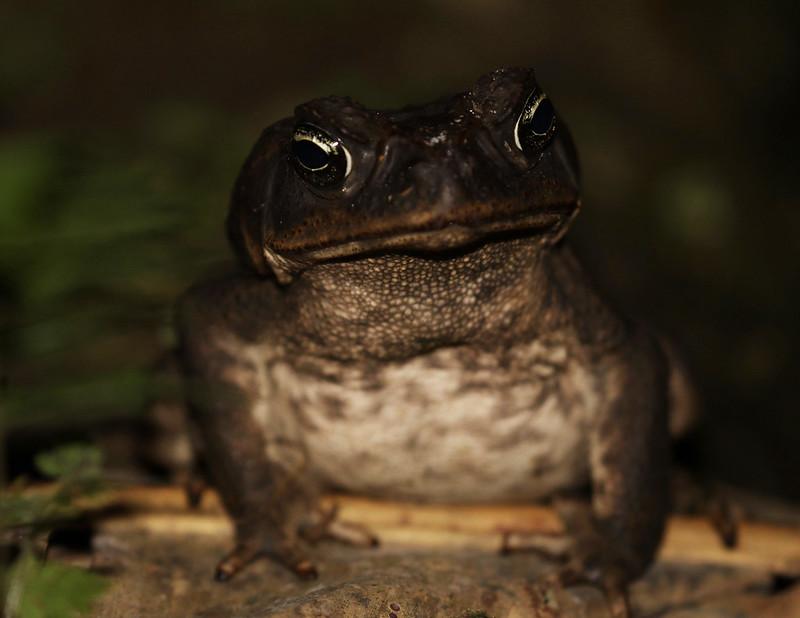 Marine or cane toad_Rhinella marina_Ascanio_Costa Rica_199A9460