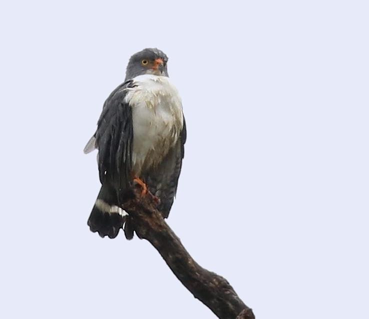 Semiplumbeous Hawk_Leucopternis semiplumbeus_Ascanio_Costa Rica_199A9547