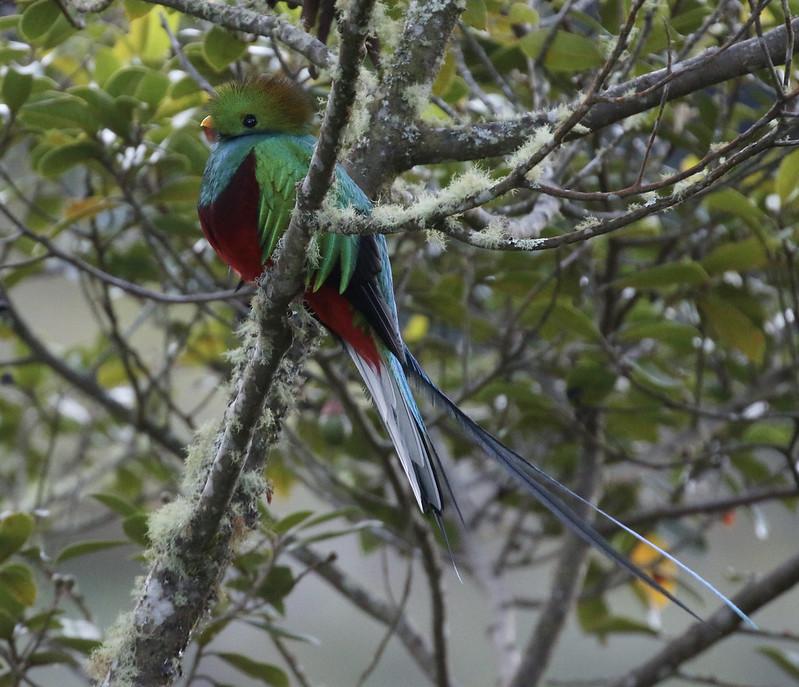 Resplendent Quetzal_Pharomachrus mocinno_Costa Rica_Ascanio_ 199A8673