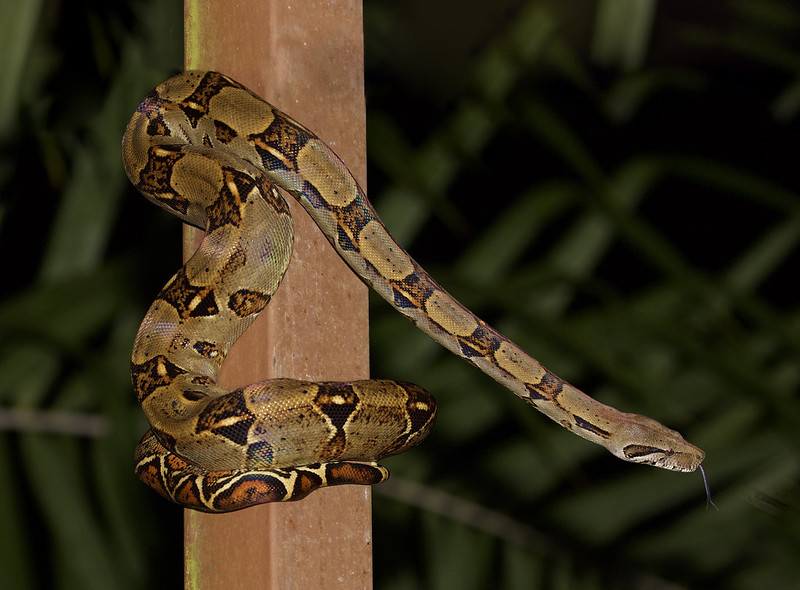 Red-tailed Boa_Boa constrictor_Costa Rica_Ascanio_199A9443