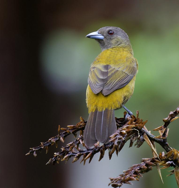Scarlet-rumped Tanager_Ramphocelus passerinii_Ascanio_Costa Rica_ 199A0732