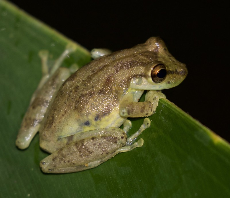 Unknown frog_Ascanio_Costa Rica_199A0054