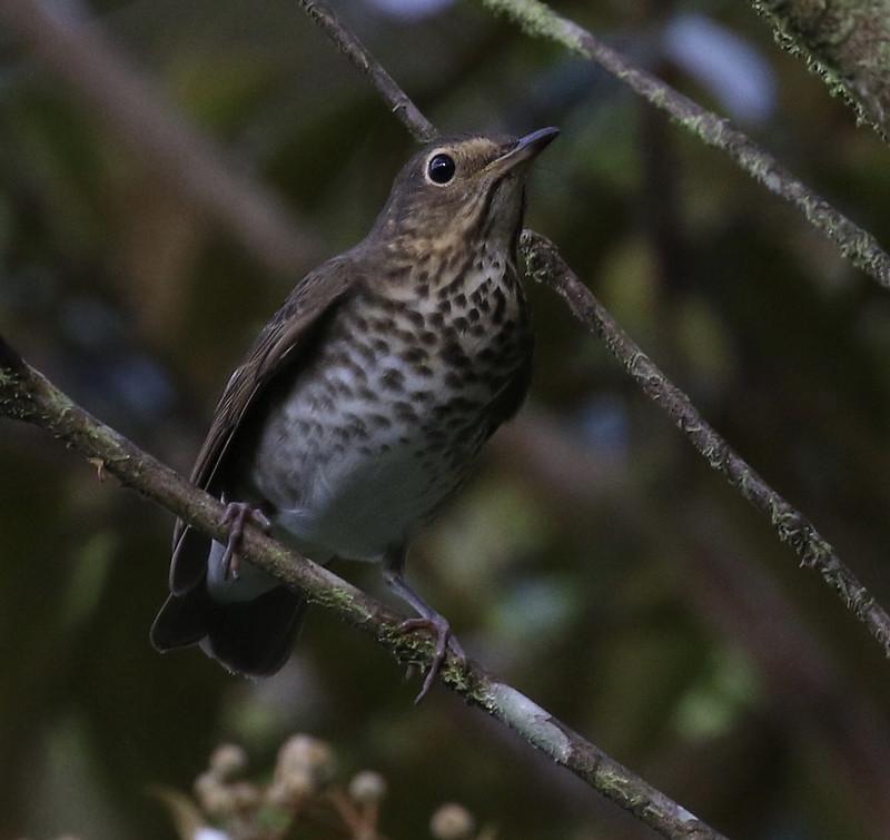 Swainson's Thrush_Catharus ustulatus_Ascanio_Costa Rica_199A9340