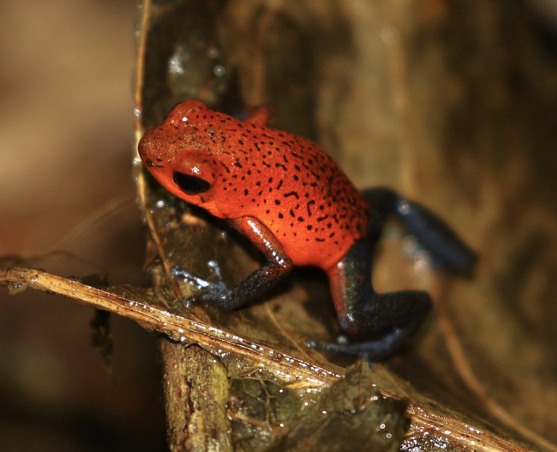 Strawberry Poison Dart Frog_Oophaga pumilio_Ascanio_Costa Rica_199A9716