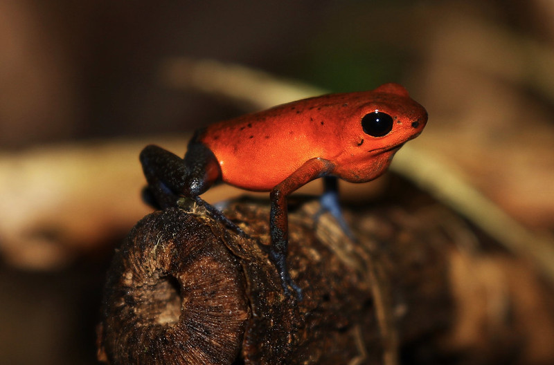 Strawberry Poison Dart Frog_Oophaga pumilio_Ascanio_Costa Rica_199A9701