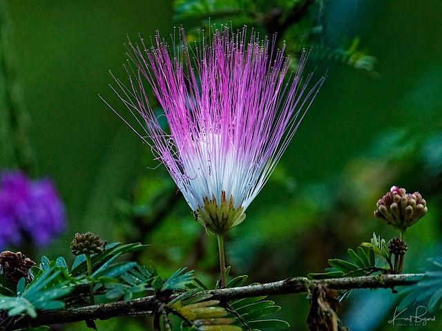 Mimosa Tree (Albizia jullibrissin). Horquetas, Heredia Province, Costa Rica
