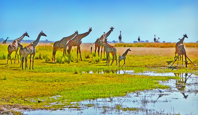 AFRICA - The giraffes have drunk enough ... some are already leaving