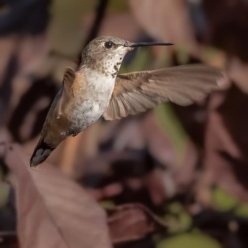rufoushummingbird selasphorusrufus doylestown pennsylvania pa buckscounty lifer bird birding birdwatching birds birdinflight sigma150600sport sigma nature nikond500 nikon
