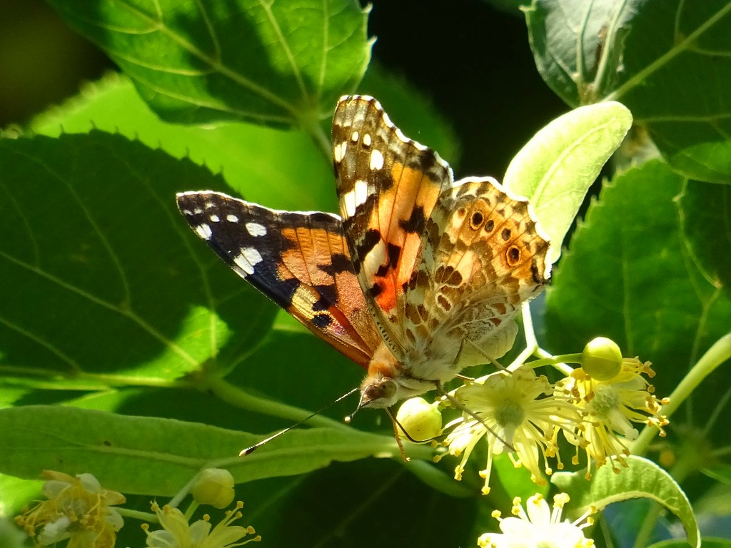 Nature /butterfly