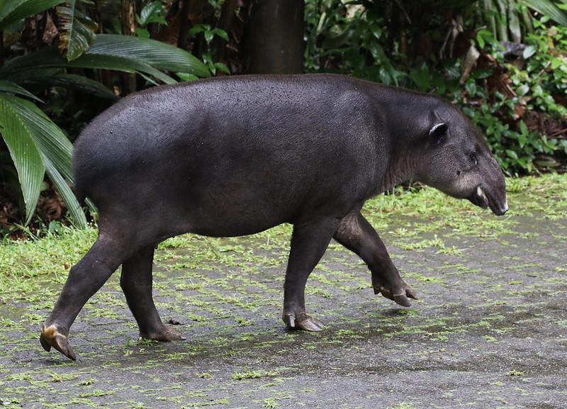 Baird's Tapir_Tapirus bairdii_Ascanio_Costa Rica_199A9494